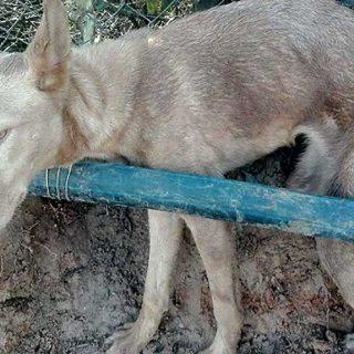 Liberado un podenco atrapado en un lazo de cazadores furtivos (Punta Umbría).
