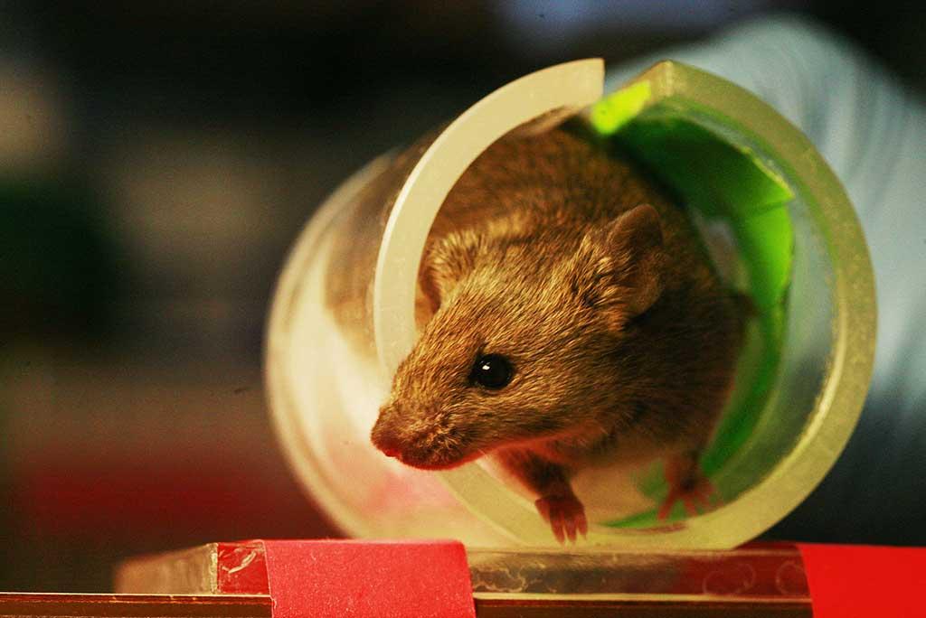 Parlamento Europeo propone prohibir en todo el mundo la experimentación en animales para productos cosméticos.