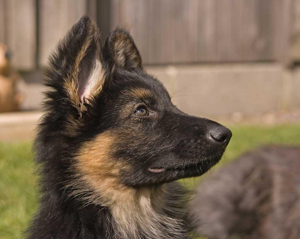 Mayor tolerancia a ruidos repentinos mediante estimulación de audio durante la ontogenia temprana en cachorros de pastor alemán.