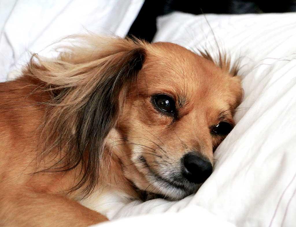 Efectos a largo plazo de la infección por parvovirus en perros