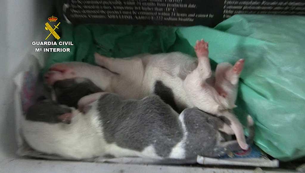 La Guardia Civil interviene 397 perros de raza en un centro de cría ilegal cuyo responsable comercializaba con documentación falsificada y sin control veterinario