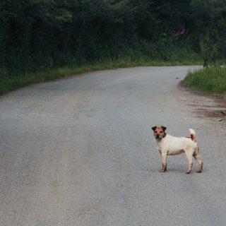 Los perros son los animales mas involucrados en accidentes de tráfico.