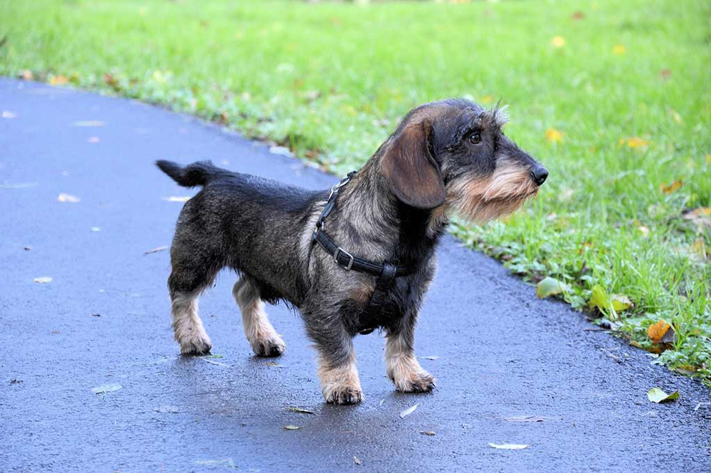 10. Perro Salchicha, #dachshund: 9.680.466 menciones
