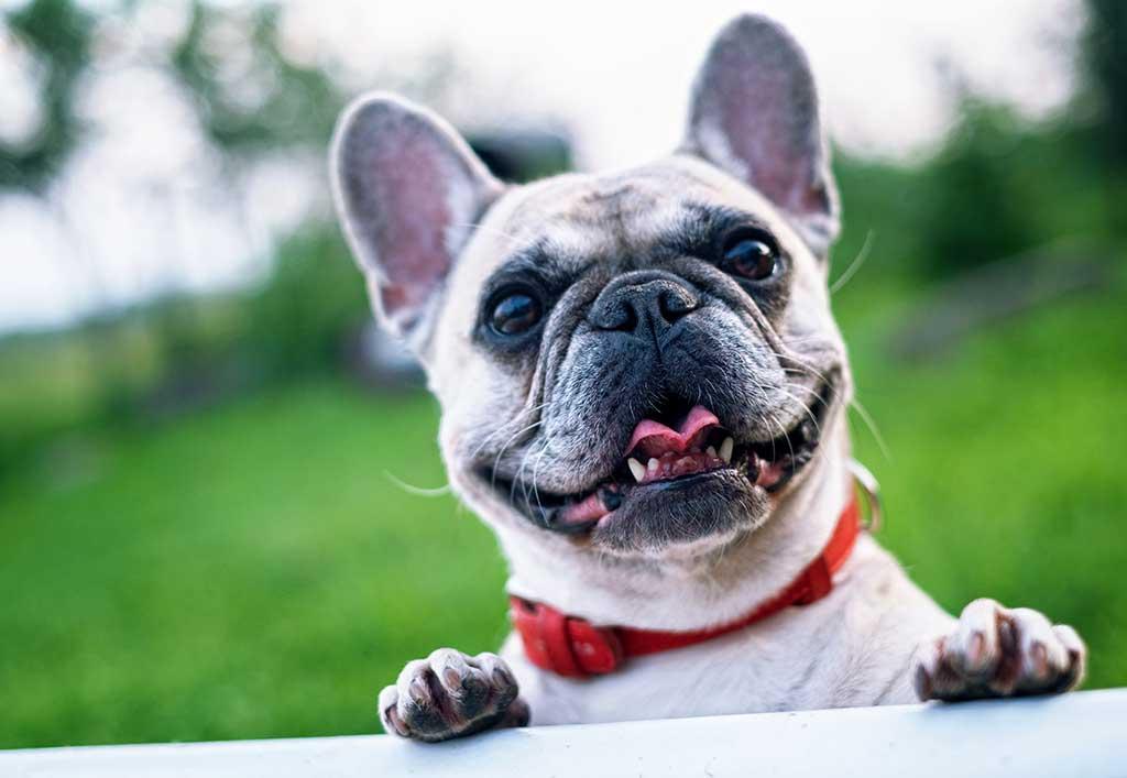 2. Bulldog Francés, #frenchbulldog: 18.518.709 menciones