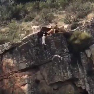 Varios perros y un ciervo caen por un acantilado durante una montería.