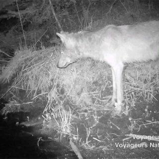 Imágenes únicas de lobos pescando