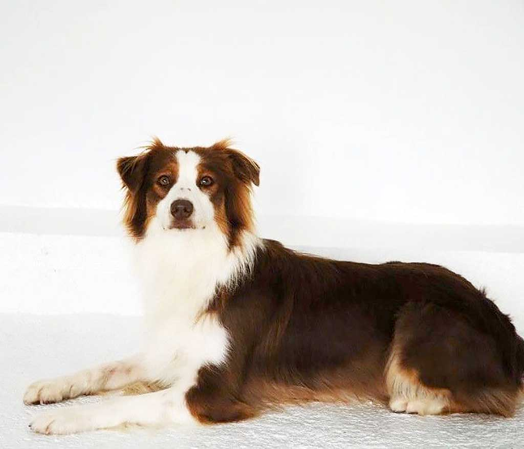 """Perro detector de Leishmania: """"Un perro ayudando a otro perro""""."""