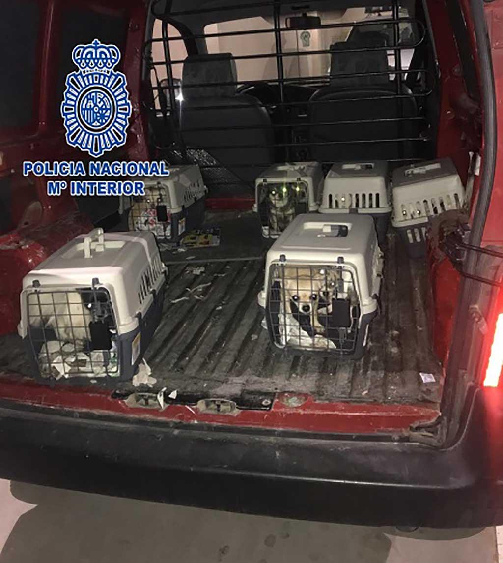 La Policía Nacional desmantela un criadero ilegal de chihuahuas y rescata doce perros encerrados en una vivienda.