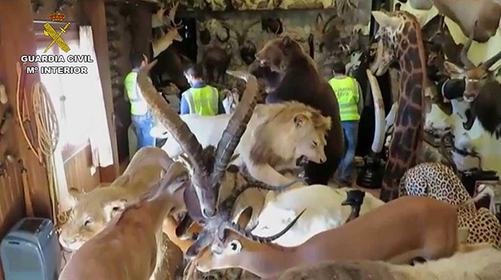 La Guardia Civil desarticula una red de comercio ilegal de animales de especial protección. Han sido recuperadas nuevas piezas de animales disecados en actuaciones desarrolladas en Madrid, Navarra, Cataluña e Illes Ballears.