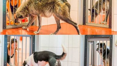 """Los lobos son más sociales que los perros (""""piensan"""" más en la manada)"""