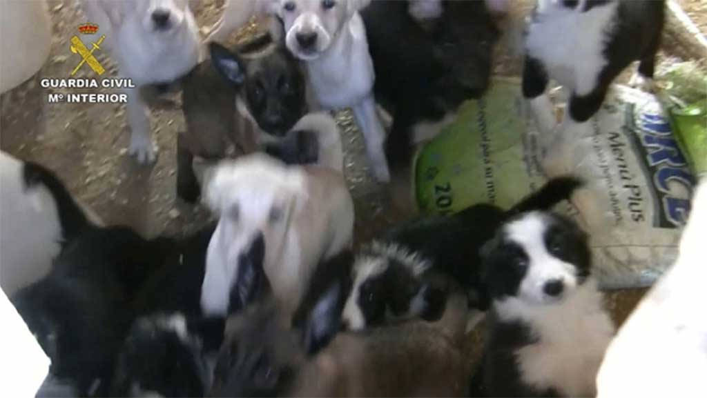 Guardia Civil detiene a un criador de perros por un delito de maltrato animal.