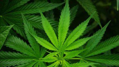 La marihuana... ¿tiene valor terapéutico para los animales?