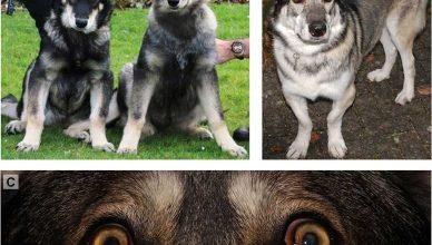 Estudio sobre la displasia oculoesquelética en el perro inuit.