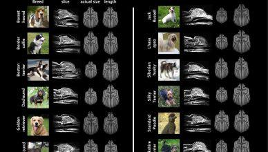 La selección de las diferentes razas de perros ha cambiado sus cerebros.
