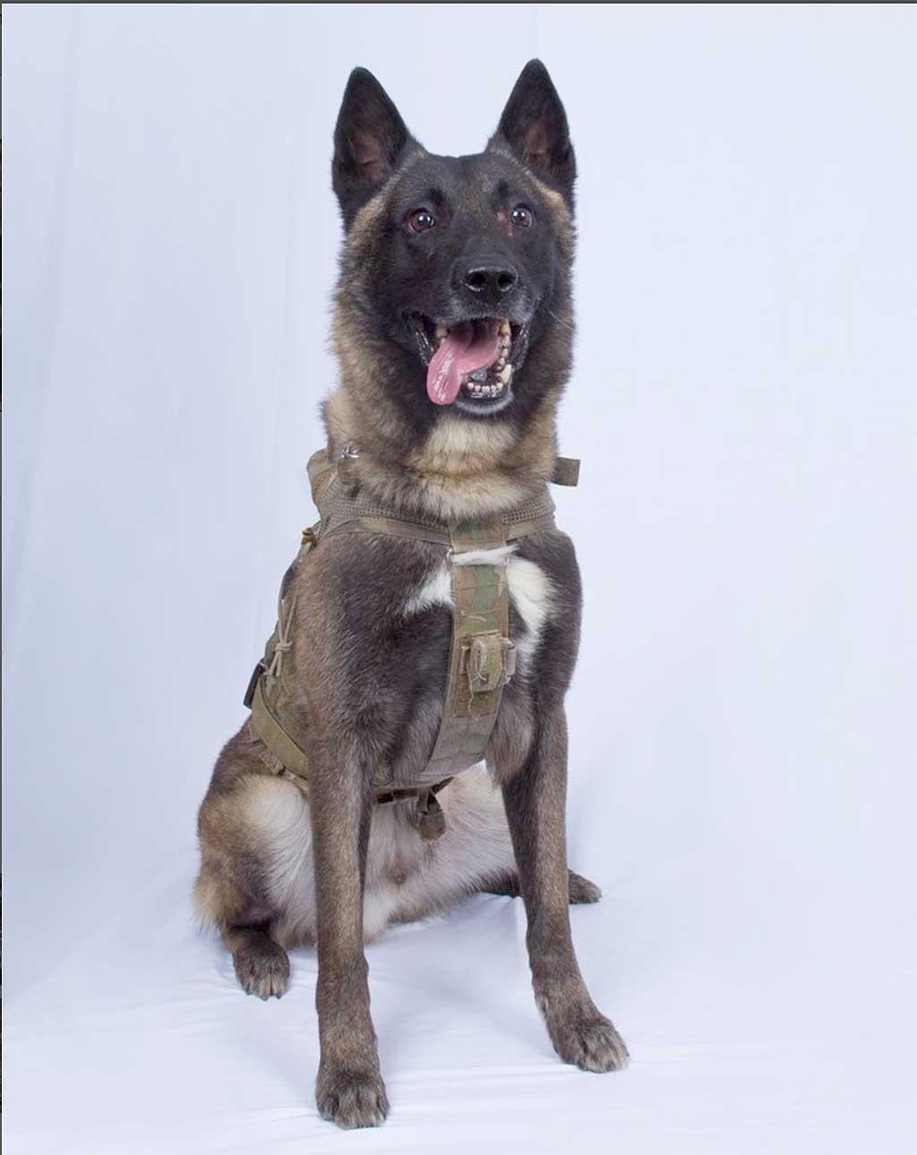 Este es el perro que ayudo a los Delta Force en la operación contra Al Bagdadi.