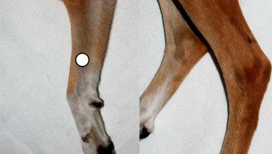 Los efectos de la acupuntura en perros, a estudio.