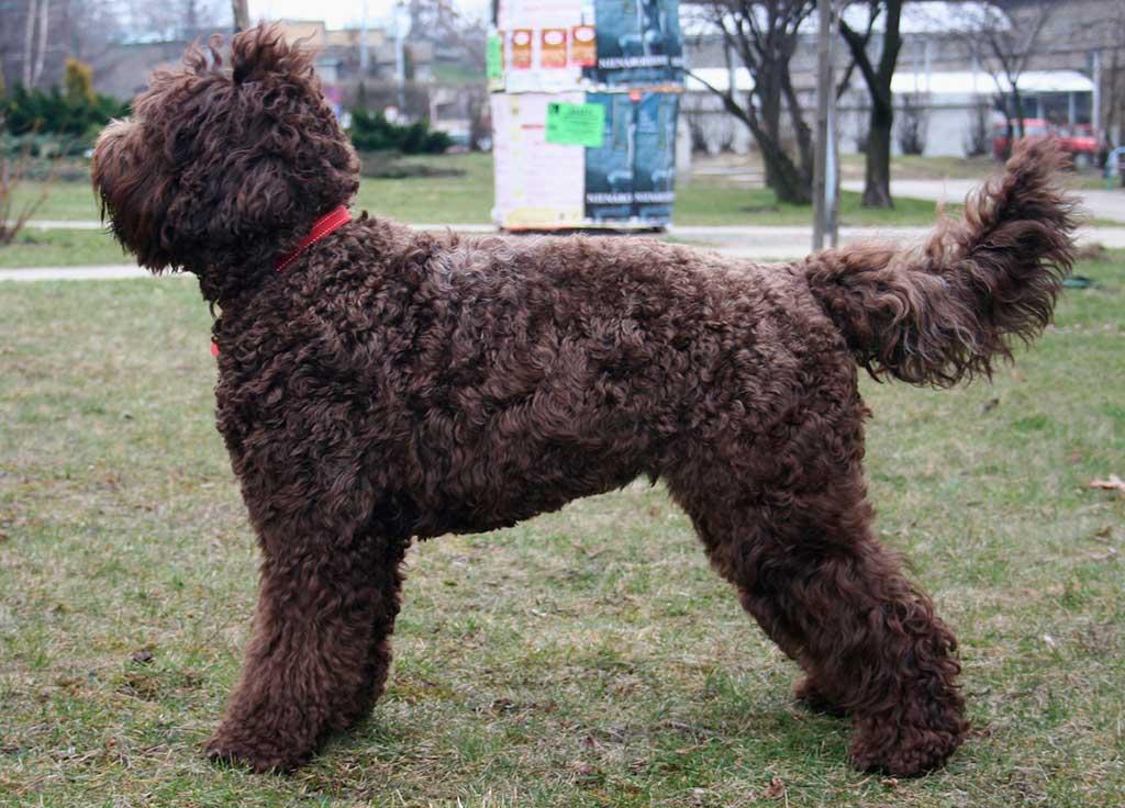Uniéndose al grupo de perros deportivos, el Barbet es un perro de agua mediano de Francia.
