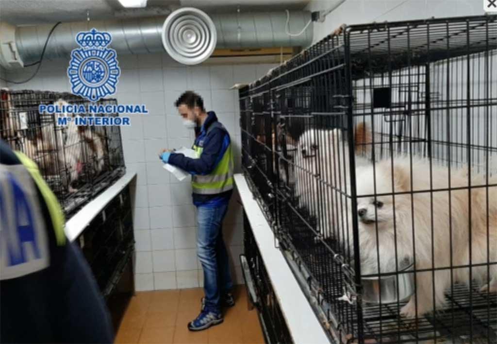 Desmantelados en Madrid dos criaderos ilegales de chihuahuas y rescatados 270 perros.