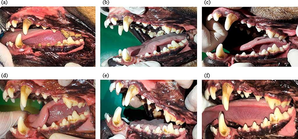 Evaluación de lesiones de dientes en perros Beagle causadas por huesos para eliminar el sarro.