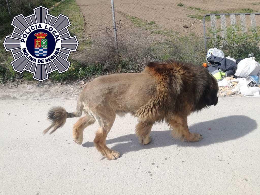 Un león suelto por Segura... O tal vez no.