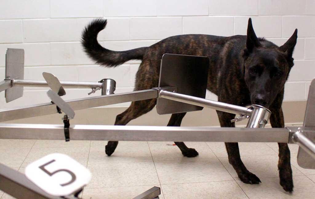 Perros adiestrados para detectar el COVID-19.