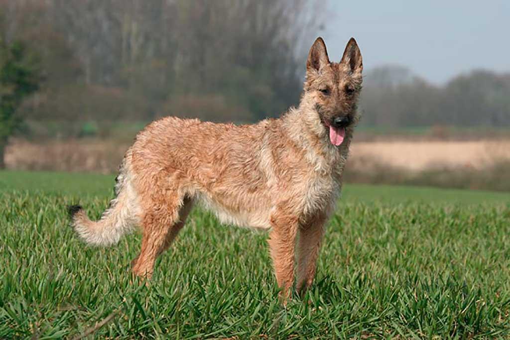 El American Kennel Club reconoce al pastor belga Laekenois.