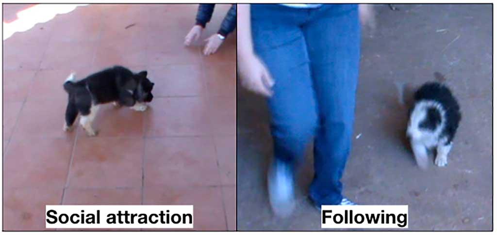 ¿Se puede predecir el comportamiento de adulto evaluando a un cachorro de 7 semanas?