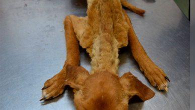 Guardia Civil salva la vida a 41 perros en grave estado de abandono