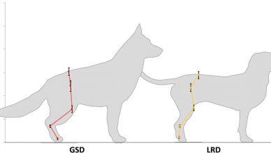 Comparación biomecánica entre perros pastor alemán y labrador retriever,