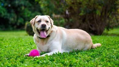 Uno de cada tres propietarios de perros no reconoce cuando su animal tiene sobrepeso, según un estudio de Purina.