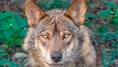 El Lobo, más cerca de su inclusión en el listado de Protección Especial.
