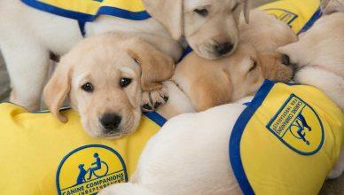 Características cognitivas en cachorros de perro de asistencia de 8 a 10 semanas de edad.