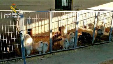 La Guardia Civil detiene al responsable de un criadero perros y a un veterinario por cortarles las cuerdas vocales.