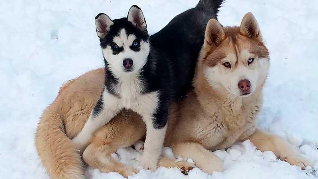 Siberian husky, un compañero de confianza para las familias.