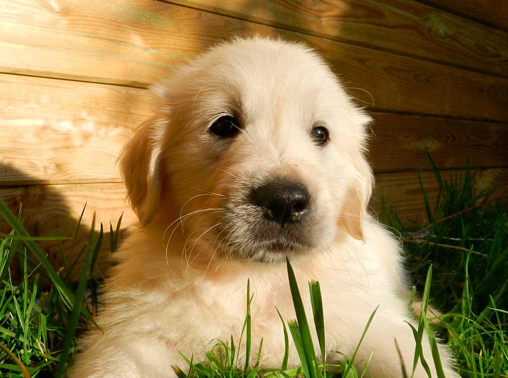 Granjas de cachorros, alerta en Reino Unido (que podemos aplicar a España).