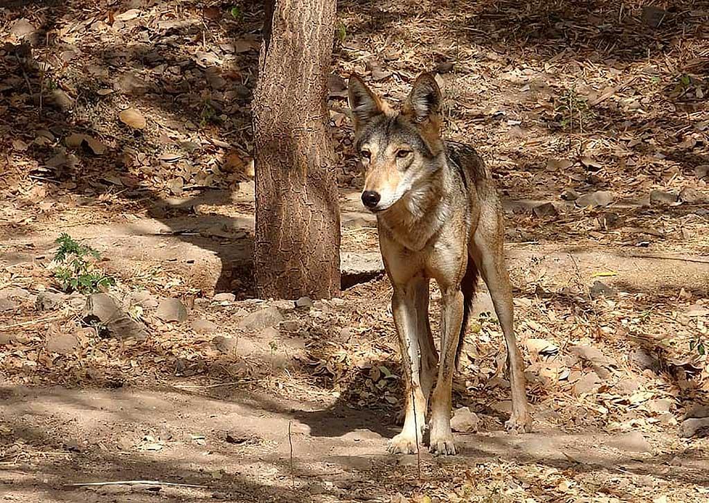 Acerca del repertorio vocal armónico del lobo indio (Canis lupus pallipes)