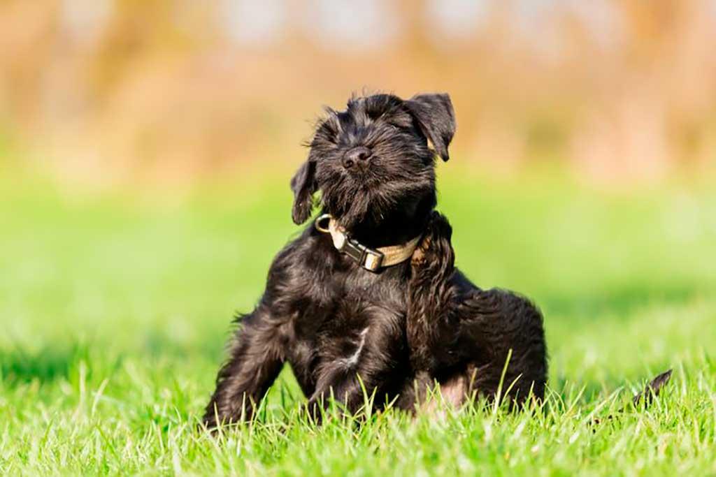 Consejos veterinarios para prevenir y tratar las alergias ambientales en las mascotas.