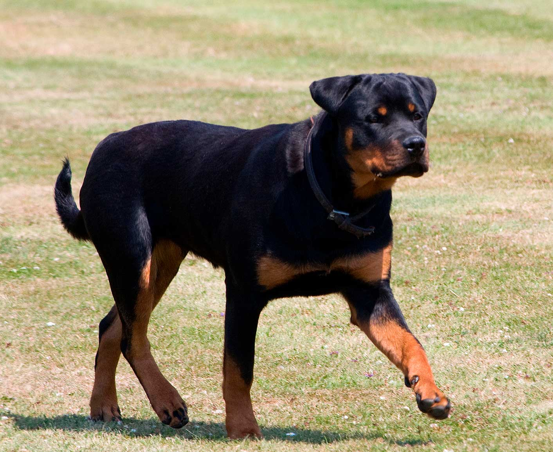 Pruebas de ADN para combatir enfermedades hereditarias en Rottweiler.