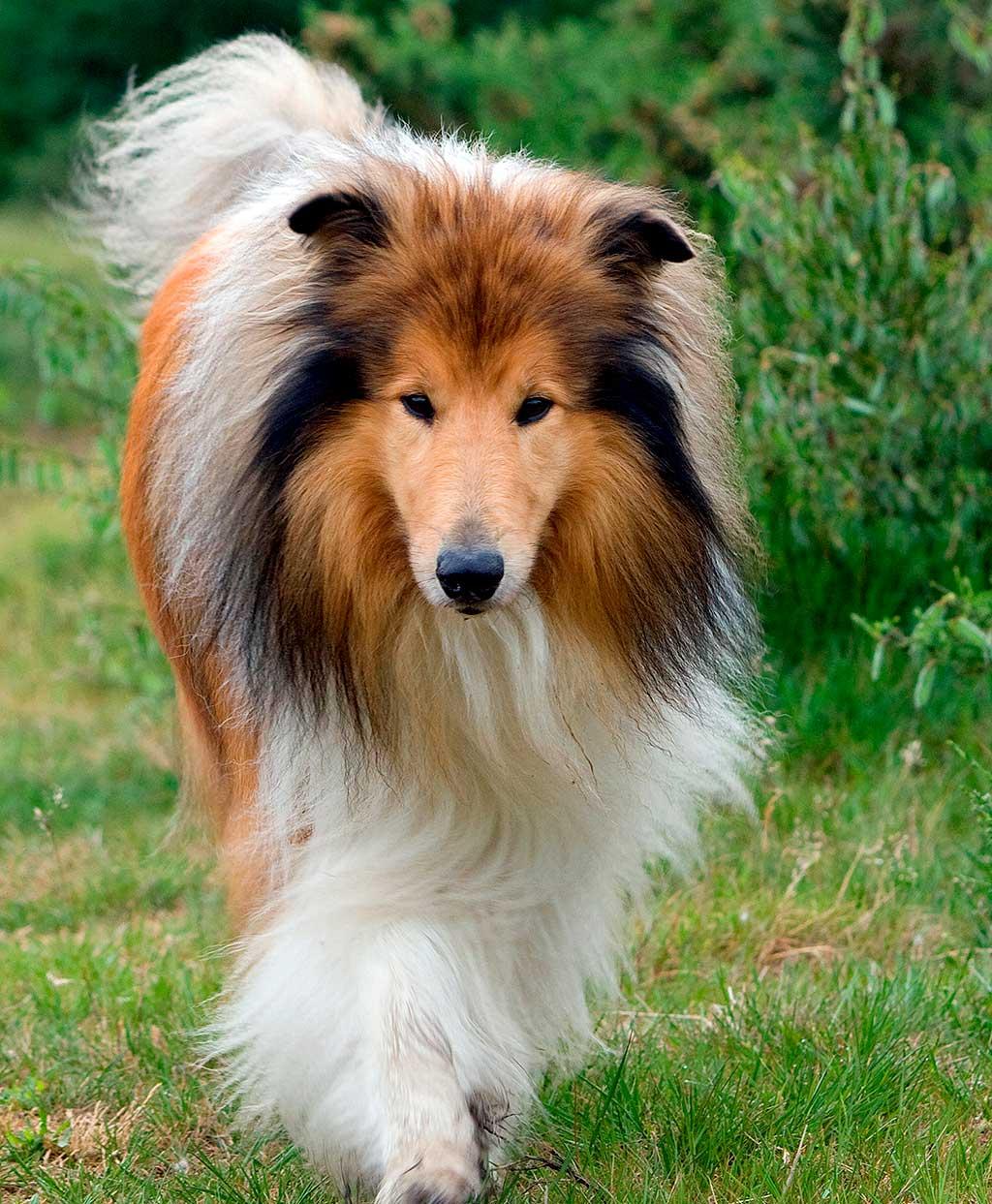 Las razas de perros más agresivas son... Factores que afectan a la agresividad en perros de raza