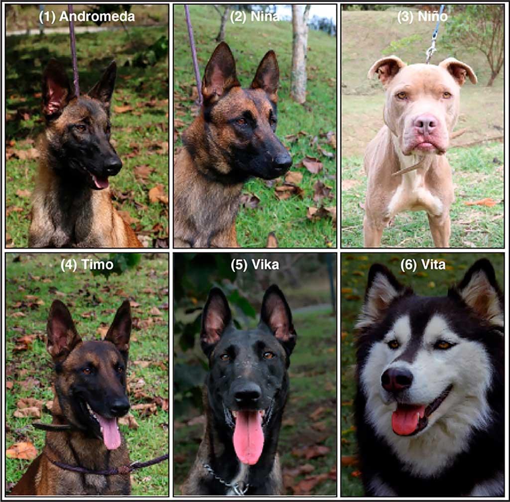Perros detectores de COVID, su efectividad a estudio.